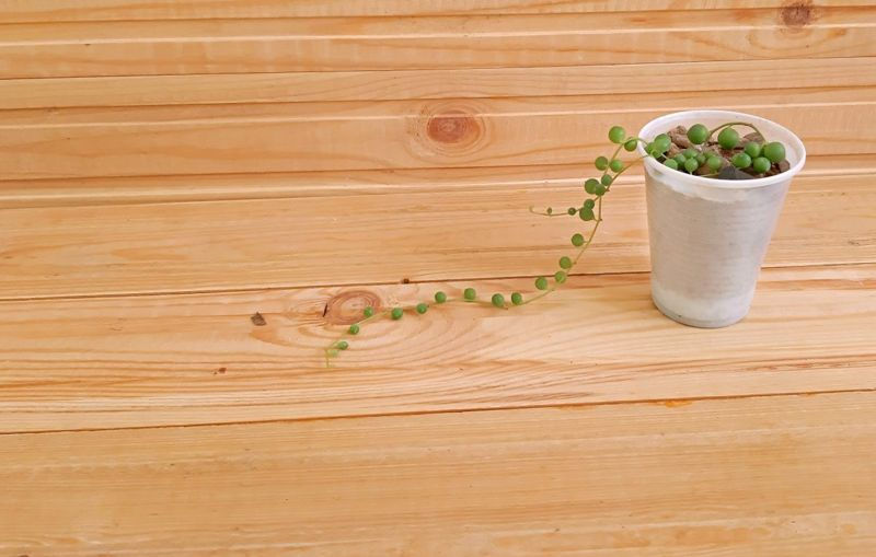 Propagating string of pearls plant.