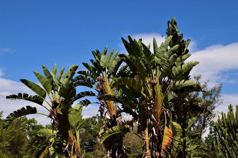 official flower strelitzia plants Africa