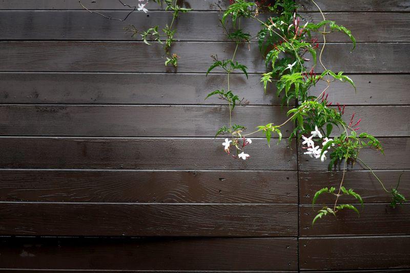 star jasmine confederate trachelospermum