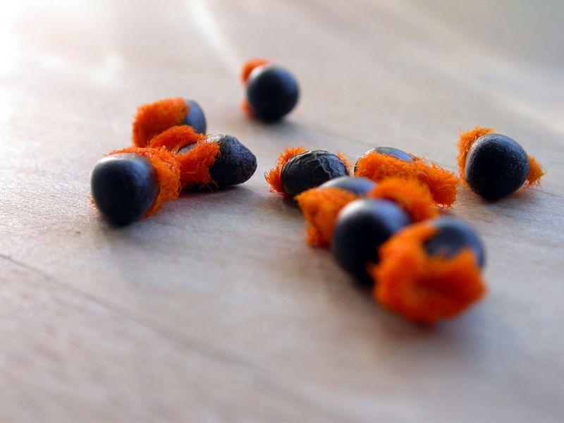 sow black orange fuzz seeds