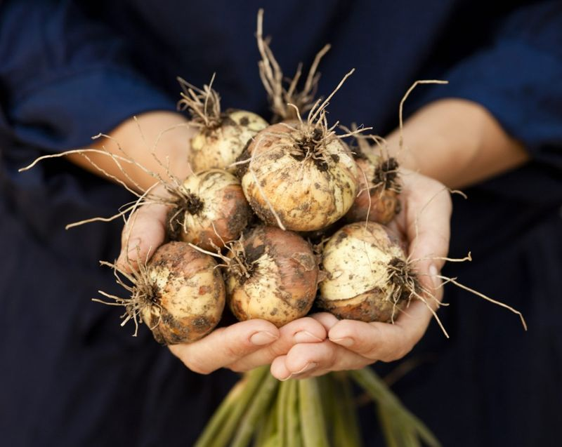 dry bulb clip roots harvest