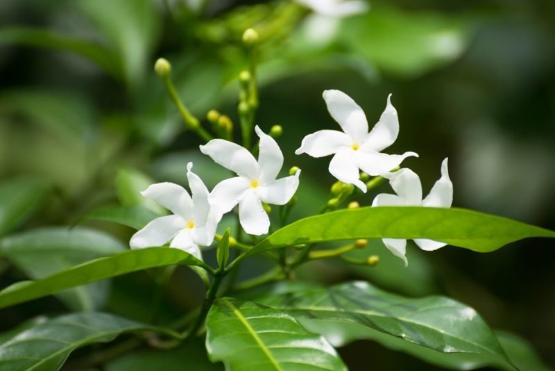 warm humid environments diverse jasmine