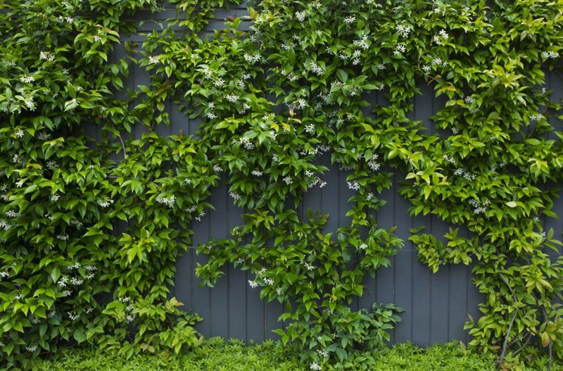 rampant grower prune wall