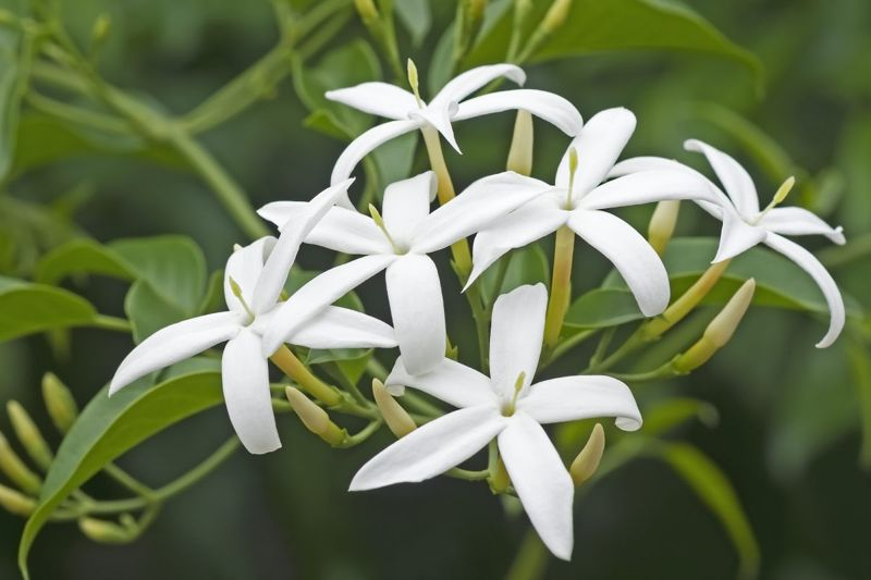 full sun partial shade jasminum