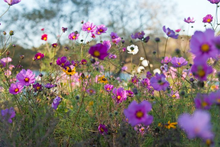 USA, New York State, East Hamptons, Cosmo flowers