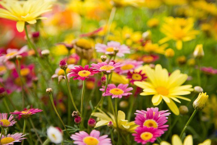 Colorful daisies, focus on Madeira Deep Rose marguerite daisy