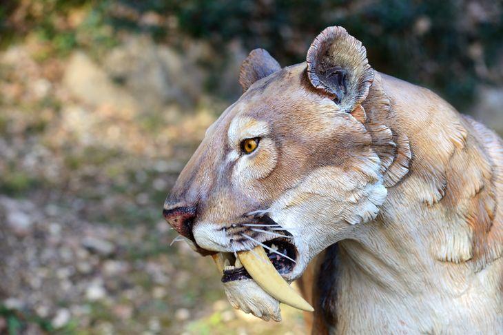 extinct sabre tooth tiger