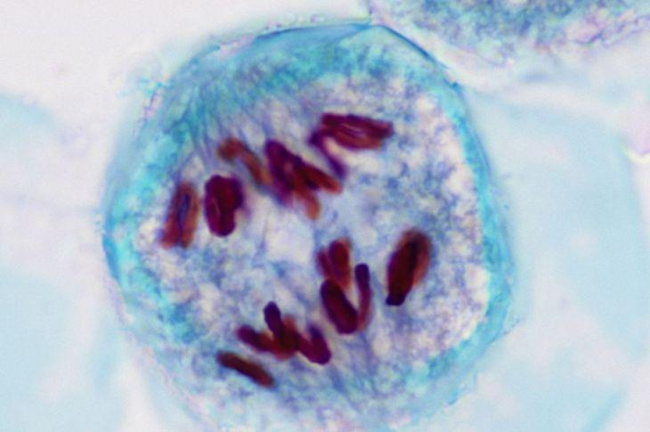 human cell meosis