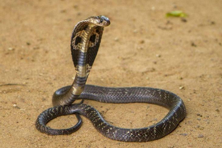 Venomous snakes king cobra
