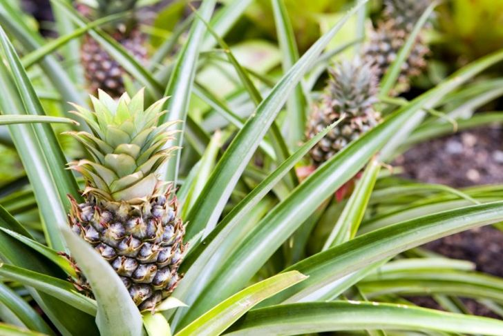 how long to get pineapple