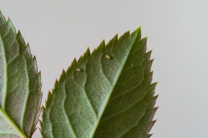 aphids spider mites infestations diseases