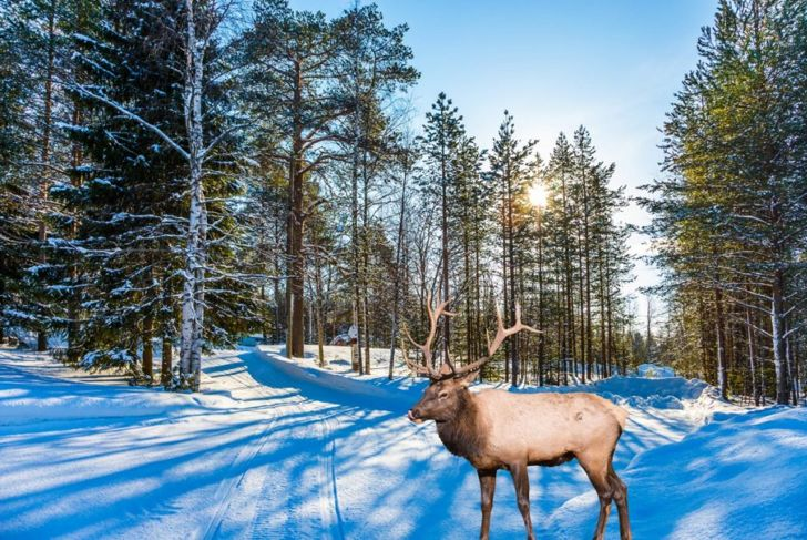 Caribou in snow