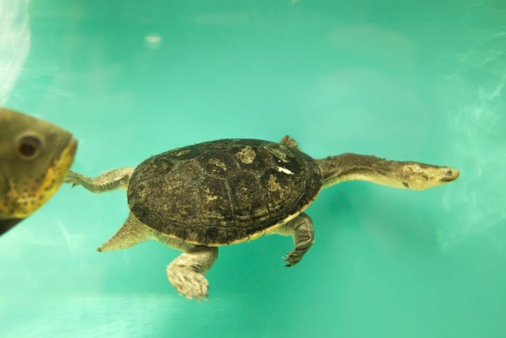 Eastern long-necked turtle. snake-necked turtle.