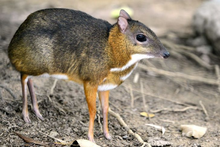 The mouse deer or Chevrotain is smallest deer