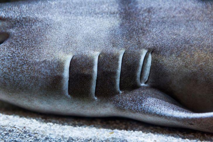 Brownbanded Bamboo Shark Gills
