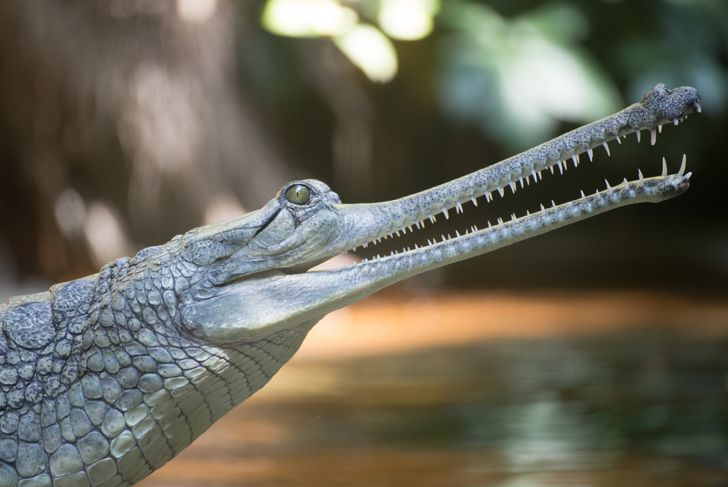 Young Gharial