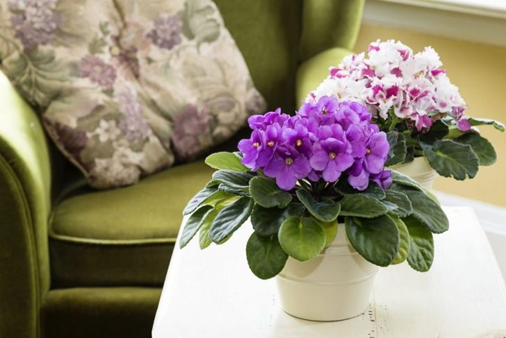 african violets blooming