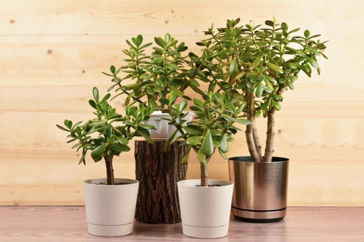 propagating jade plant cutting