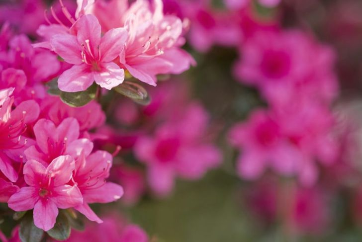 Azaleas are a type of rhododendron.