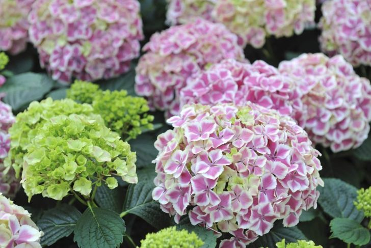 Pink and green hydrangeas.