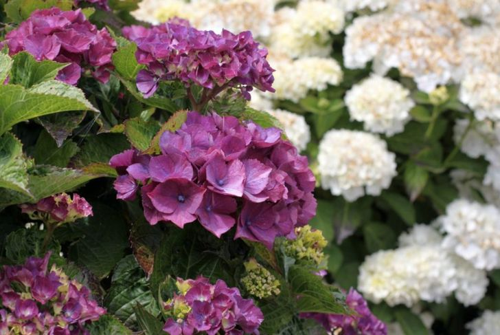 Purple hydrangeas are stunning.