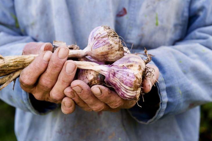 garlic harvest crop plant farm