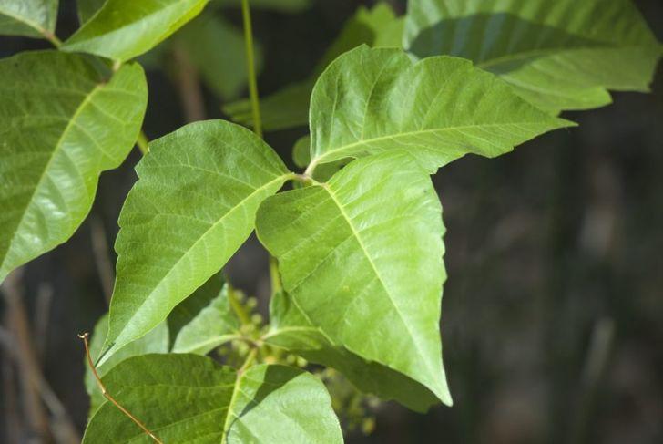leaves, clusters, white, grayish berries