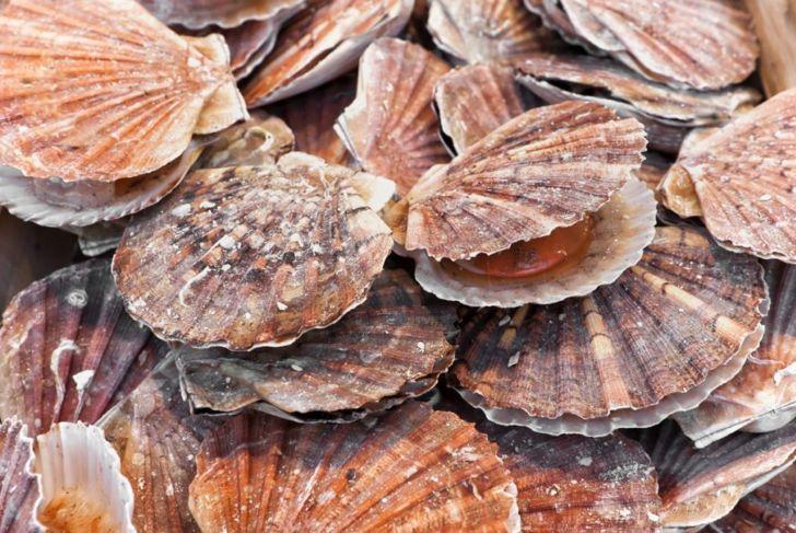 scallops mollusks shell