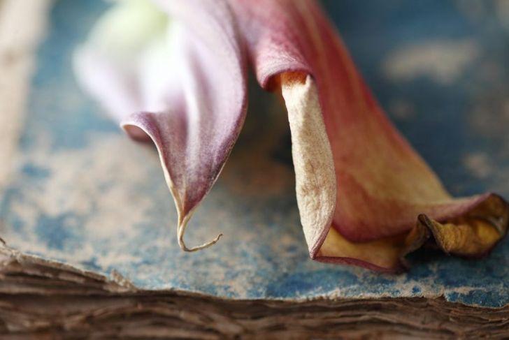 Erwinia-carotovora root-rot
