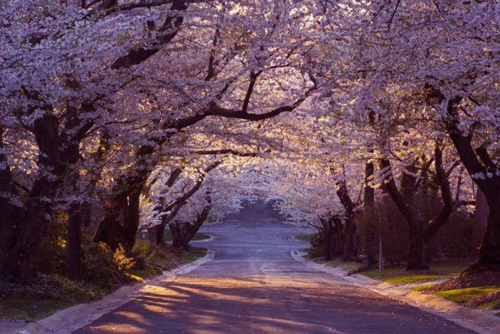 cherry blossoms maryland neighborhood
