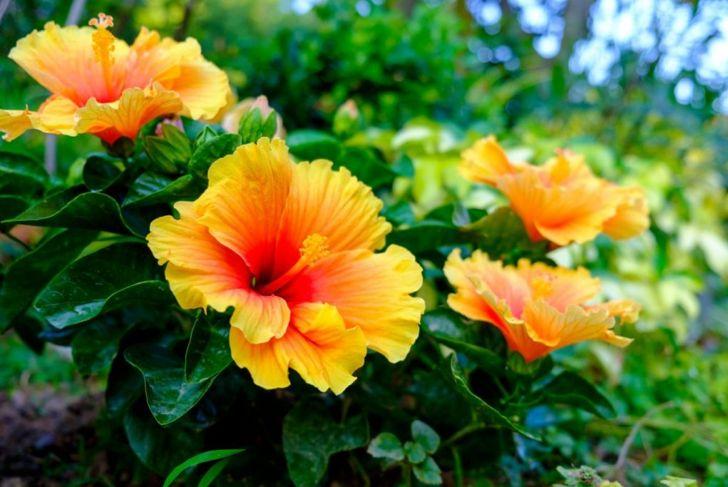 hibiscus vitamin c lower cholesterol