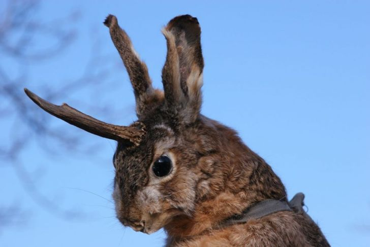 Angry-looking rabbit with antelope antlershttps://www.gettyimages.com/detail/photo/crazy-hunter-amp-jackalope-royalty-free-image/108221323?adppopup=true