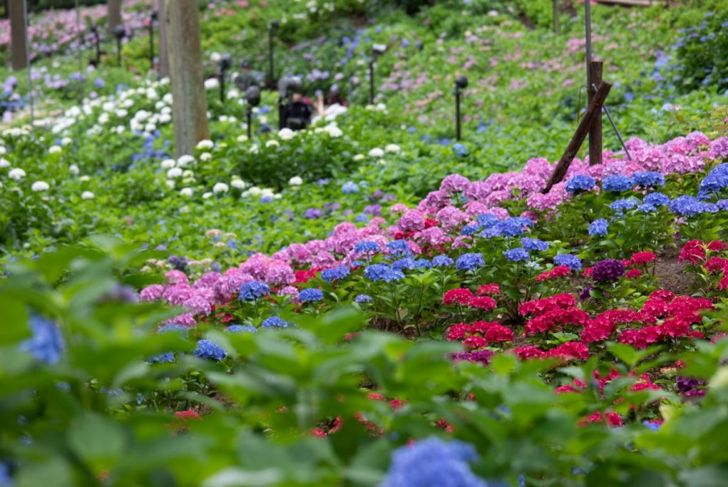 Hydrangeas make attractive borders.