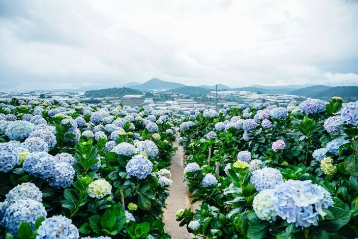 Natural Landscape view of purple Hydrangea flower field (Hydrangea macrophylla) in a garden with mountain in winter at Dalat, Vietnam