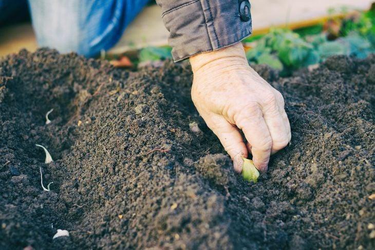 Gardener planting garlic in the vegetable garden
