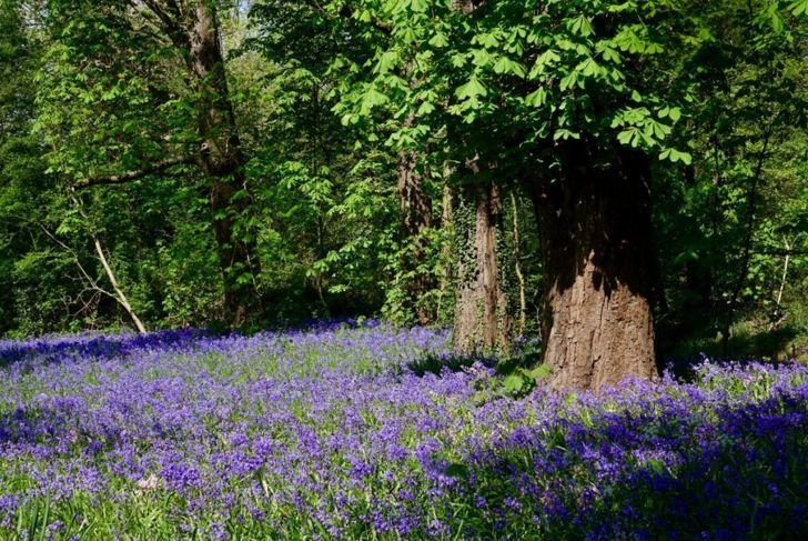 Purple Hyacinths Growing Wild