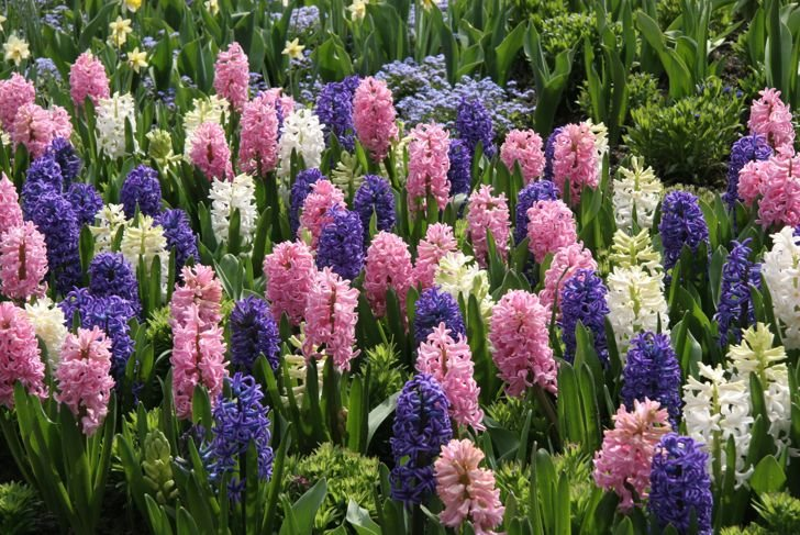 Mass Planting of Perfect Spring Hyacinths