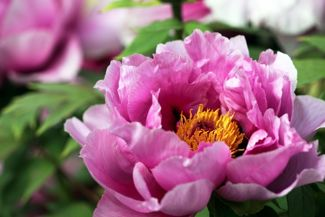 How Can I Get the Most Out of My Peonies?