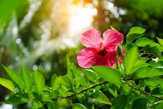 Why Is Hibiscus So Special?