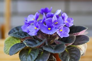 How to Grow Beautiful African Violets