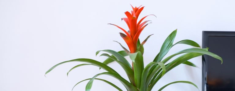 Different Types of Bromeliads and How to Care for Them