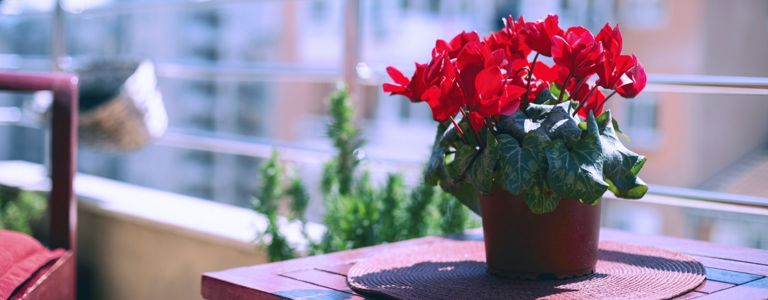 Are Cyclamen Plants Easy to Grow?