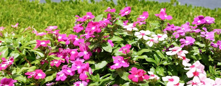 Growing the Best Periwinkles