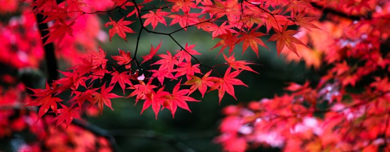 Light Up Your Yard With a Japanese Maple