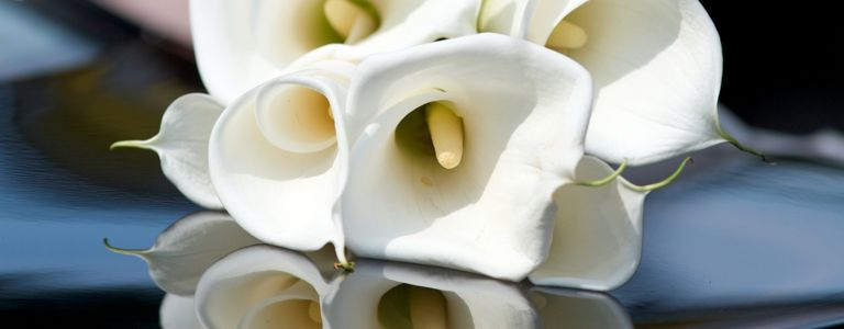 How to Care for Your Calla Lily Throughout the Year