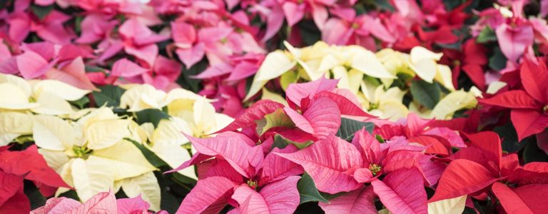 Can Poinsettias Grow Year-Round?