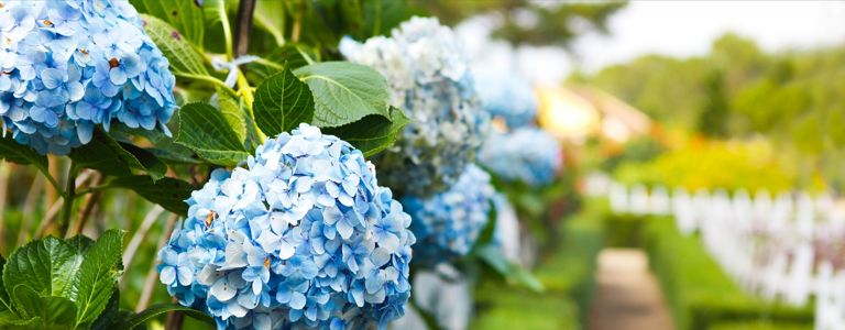 Hydrangea History and Horticulture