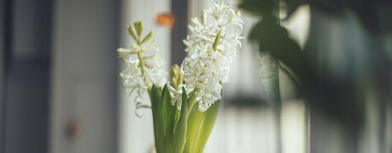 Taking Care of Your Hyacinths