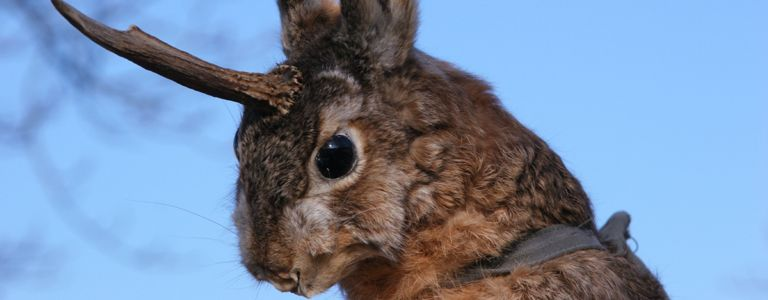 What is a Jackalope?