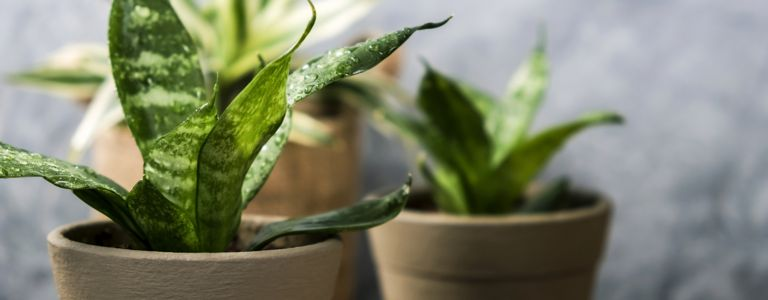 How Good Are Snake Plants for Your Home?